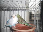 Domestic budgerigar — Stock Photo