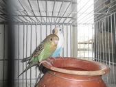Domestic budgerigar — Zdjęcie stockowe