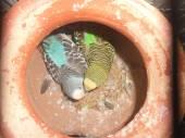 Baby budgerigars — Stock Photo