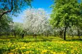 Blooming apple trees garden — Stock Photo