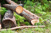 Freshly cut tree logs piled up near a forest road — Stock Photo