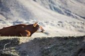 Cow the rest — Stock Photo