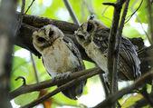 Collared scops owl Otus sagittatus — Stock Photo