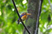 Rufous-collared Kingfisher Actenoides concretus — Stok fotoğraf