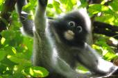Dusky leaf monkey Spectacled langur Trachypithecus obscurus — Foto Stock