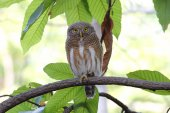Asian barred owlet Glaucidium cuculoides — Stock Photo