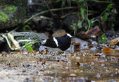 White-crowned Forktail Enicurus leschenaulti — Stock Photo