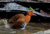 Red-legged Crake Rallina fasciata — Stok fotoğraf