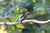White throated kingfisher Halcyon smyrnensis — Stock Photo