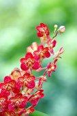Ascocentrum Orchid — Stock Photo