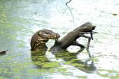 Water monitor Lizard Varanus salvator — 图库照片