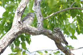Spotted owlet Athene brama — Stock Photo