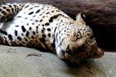 Leopard Panther Panthera pardus — Stock Photo