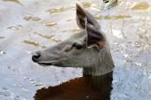 The Female Sambar deer Rusa unicolor — Stock Photo