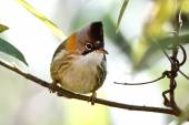 Whiskered Yuhina Yuhina flavicollis — Stock Photo