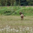 Deer grazing on the meadow — Stock Photo #80993666