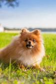 Pomeranian puppy on grass — Stockfoto