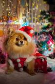 Pomeranian in santa clothing on a background of Christmas decorations — ストック写真