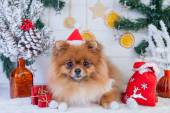 Pomeranian in santa clothing on a background of Christmas decorations — Foto Stock