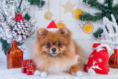 Pomeranian in santa clothing on a background of Christmas decorations — Stock Photo