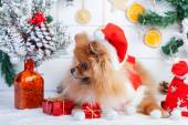 Pomeranian in santa clothing on a background of Christmas decorations — 图库照片