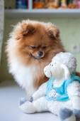 Funny Pomeranian with toy sitting in an interior — Stock Photo