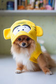 Small Pomeranian sitting in funny costumes — Stock Photo