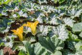 Pumpkin flower detail - shalow DOF — Stock Photo