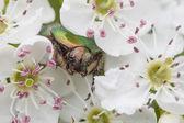 Green rose chafer, Cetonia aurata — Stock Photo