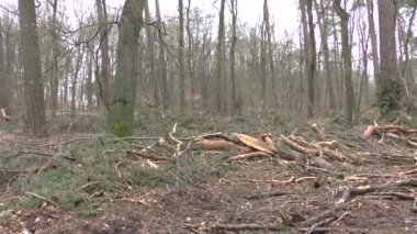 Timber felling in the forest — Stock Video