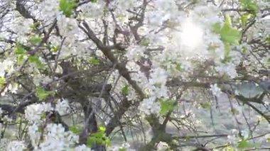 Blooming blackthorn in backlight — Stok video