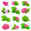 Colldection of Green Leaf and Spring Flower of Hydrangea Plant — Stock Photo #64844645