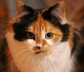 Three-colored cat close-up — Stock Photo