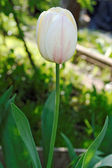 White tulip flower with many red streaks — Stock Photo