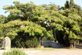 Lankaran acacia. — Stock Photo