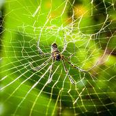 网站中的大型热带蜘蛛 — 图库照片