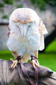 View of Barn owl sitting on falconer glove — Stock Photo
