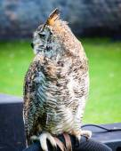 Close up portrait of European Eagle Owl — Stock Photo