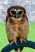 Close up portrait of brown wood Owl against green background — Stock Photo