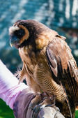 Close up portrait of brown wood Owl sitting on falconer glove — 图库照片