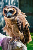 Close up portrait of brown wood Owl sitting on falconer glove — Stock Photo