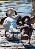 Beautiful swan familiy with nestlings in lake — 图库照片