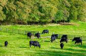 Cows grazing in a fresh green field, England — Stockfoto