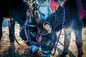 Donkeys on the beach eating hay — Stock Photo