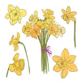 Narcissus bouquet hand drawn, vector illustration — Stock Vector