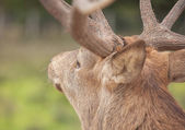 Close up picture of a Stag in the forest from behind with big an — Stock Photo