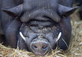 Sleeping pot-bellied pig with lot of wrinkels and long tusks — Stock Photo