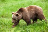 Walking brown bear — Stock Photo