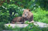 Lion lies on a stone  — Stock Photo