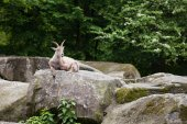 Alpine Ibex lies on a stone — Stock Photo